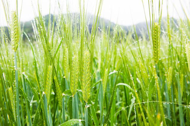 麦の穂の写真