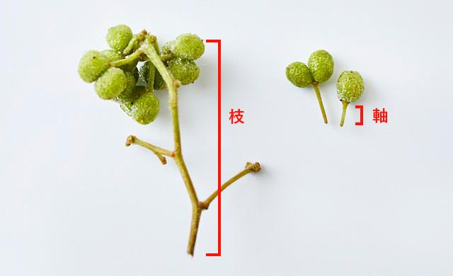 小枝と軸の比較写真
